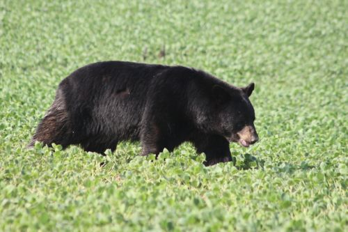 Bruno the Bear Tranquilized After Making Interstate Trek Through Four States